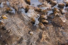 Abejas y avispa que pululan en gotas de la miel en backgrou de madera del vintage Fotos de archivo