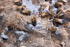 Abejas y avispa que pululan en gotas de la miel en backgrou de madera del vintage Imagen de archivo libre de regalías