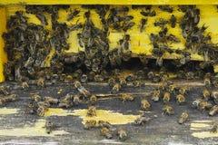 Abejas y colmena amarilla Imagen de archivo libre de regalías