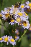 Abejas y escarabajo Fotografía de archivo libre de regalías