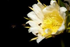 Abejas y flor Foto de archivo libre de regalías