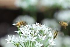 Abejas y flor Fotografía de archivo