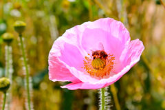 Abejas y flor Imagen de archivo