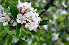 Abejas y flor de la manzana Fotografía de archivo