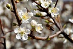 Abejas y flor de la manzana Foto de archivo libre de regalías