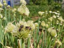 Abejas y floraciones de la cebolla Imagenes de archivo