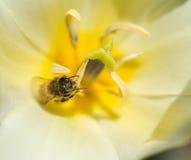Abejas y flores Imágenes de archivo libres de regalías