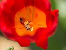Abejas y flores Imagen de archivo libre de regalías
