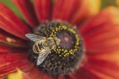 Abejas y flores Foto de archivo libre de regalías