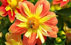 abejas y flores anaranjadas Imagen de archivo