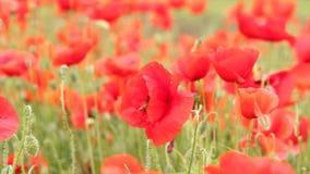 Abejas y flores de la amapola metrajes