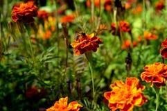 Abejas y flores de terciopelo Prado verde Un episodio de la naturaleza viva Imagen de archivo