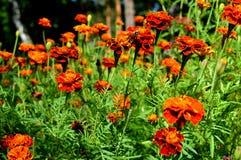 Abejas y flores de terciopelo Prado verde Un episodio de la naturaleza viva Fotografía de archivo