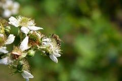 Abejas y frambuesa de la flor Fotos de archivo libres de regalías