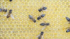 Abejas y larvas de la miel almacen de video