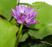 Abejas y loto waterlily en el lago Imagenes de archivo