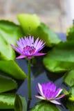 Abejas y Lotus Foto de archivo