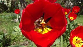 Abejas y tulipanes foto de archivo