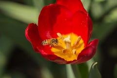 Abejas y tulipanes Foto de archivo libre de regalías