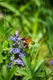 Abejorro alrededor del tiempo de primavera azul de la flor Imagen de archivo