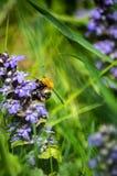 Abejorro alrededor del tiempo de primavera azul de la flor Foto de archivo libre de regalías