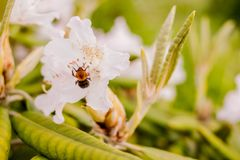 Abejorro atado blanco en un rododendro Foco selectivo Abejorro en un flor o un rododendro rosado de la azalea en jardín Foto de archivo libre de regalías
