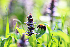 Abejorro cerca de las flores salvajes Foto de archivo libre de regalías