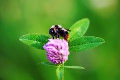Abejorro cercano para arriba en macro de la flor del trébol Fotos de archivo libres de regalías