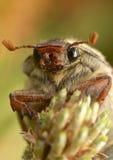 Abejorro común - melolontha del Melolontha fotografía de archivo libre de regalías