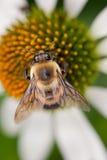 Abejorro con las alas en la flor blanca Fotografía de archivo libre de regalías
