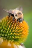 Abejorro con las alas en la flor blanca del cono Foto de archivo