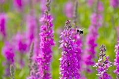 Abejorro con lisimaquia púrpura Fotos de archivo