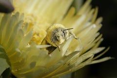 Abejorro cubierto con polen Fotografía de archivo libre de regalías
