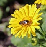 Abejorro de la miel Foto de archivo libre de regalías