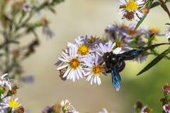 Abejorro de madera en flores Foto de archivo libre de regalías
