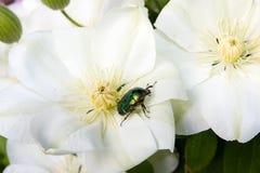 Abejorro de Rose en la flor de la clemátide Foto de archivo