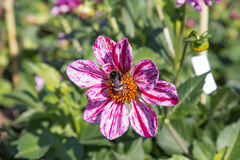 Abejorro de Shashaggy en la flor de la dalia Imagen de archivo