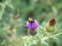 Abejorro del primer en una flor del cardo Fotos de archivo
