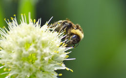 Abejorro del verano en cierre de la flor para arriba Imagen de archivo