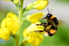Abejorro del vuelo que aterriza para amarillear la flor Imagen de archivo