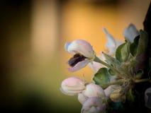 Abejorro dentro de la flor Apple Imagen de archivo