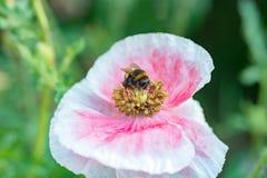 Abejorro dentro de la flor rosada de la amapola, recogiendo el polen Imagen de archivo
