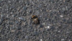 Abejorro desamparado en el primer del asfalto, insecto que sufre la ecología pobre en ciudad grande almacen de metraje de vídeo