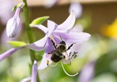 Abejorro en Bellflowers de la lila Fotografía de archivo libre de regalías