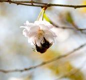 Abejorro en cereza de la flor de la primavera Imagen de archivo libre de regalías
