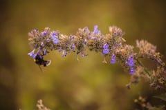 Abejorro en cierre púrpura de la flor para arriba Imágenes de archivo libres de regalías