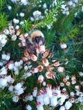 Abejorro en el brezo blanco 1 Foto de archivo