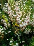 Abejorro en el brezo blanco 3 Imágenes de archivo libres de regalías