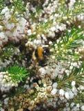 Abejorro en el brezo blanco 7 Imagenes de archivo