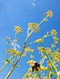 Abejorro en el cielo azul Foto de archivo libre de regalías